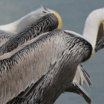 two_pelicans_web