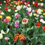 broadway-tulips-700
