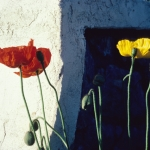 poppies-1-copy-700
