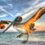 Dancing Pelican copy