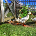 Ducks Escapiing copy